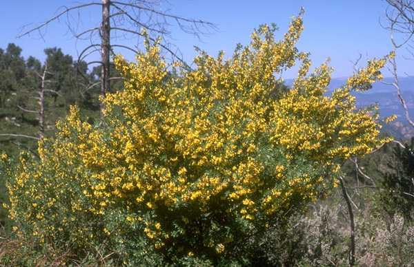 Broom, Cytisus Villosus photo broomcyt014b.jpg