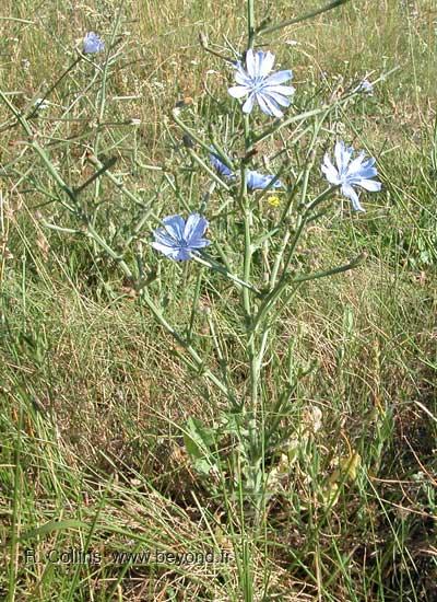ما لا تعرفه عن  الهندباء Chicory0002b
