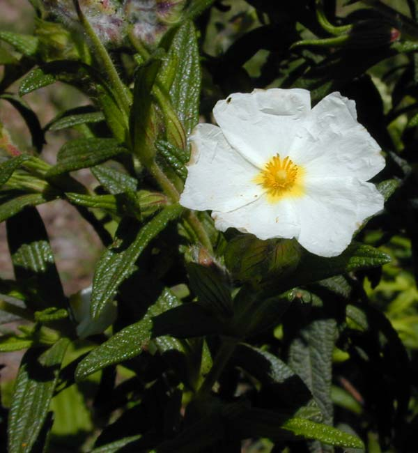 Cistus, Narrow-Leaved photo cistusnarr0007.jpg