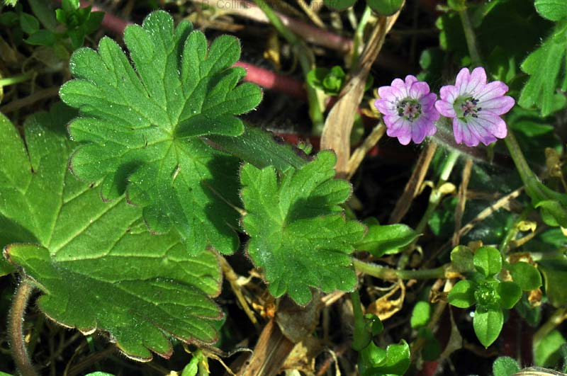 Geranium, Dovesfoot photo geranium-dovesfoot0001b.jpg