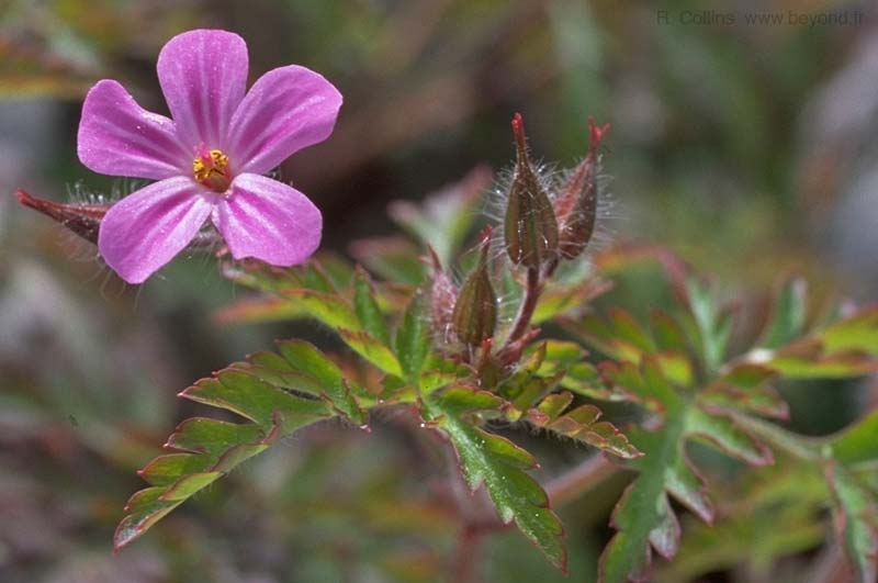 Geranium, Herb Robert photo geranium-herb-robert032b.jpg