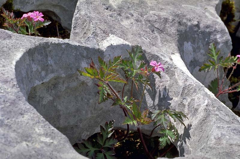 Geranium, Herb Robert photo geranium-herb-robert034b.jpg
