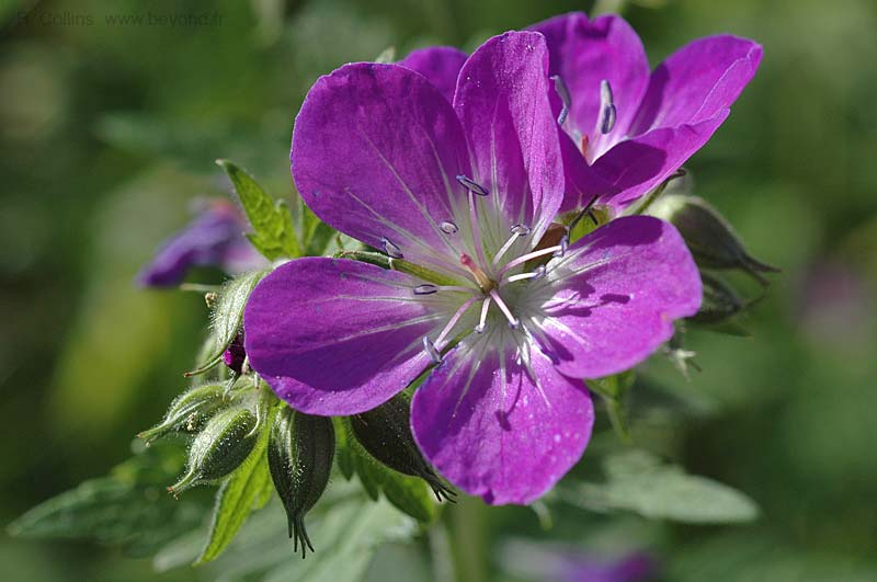 Geranium, Wood Cranesbill photo geranium-wood0007b.jpg
