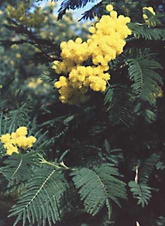 Mimosa photo mimosaBig.jpg