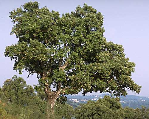 Oak Cork photo oak-cork01b.jpg