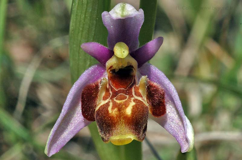 Orchid Bee photo orchid-bee0041b.jpg