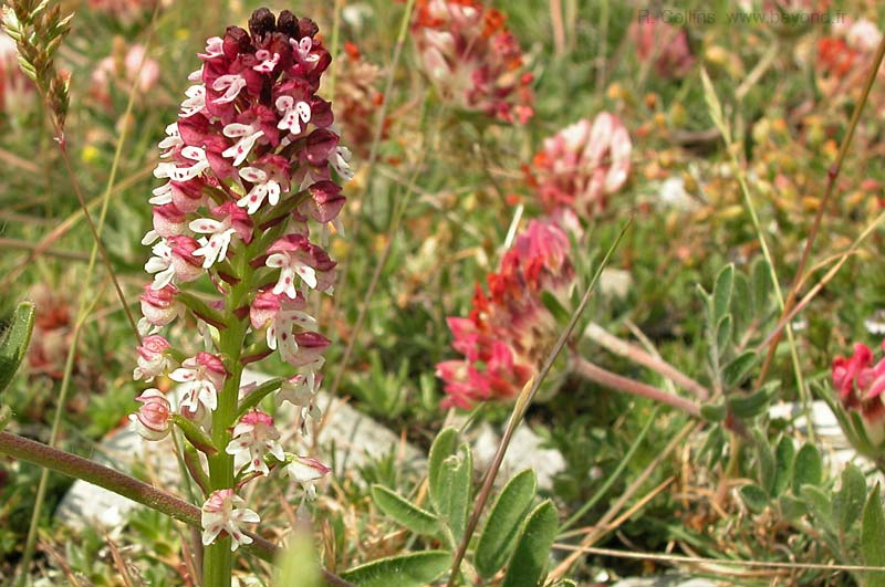 Orchid, Burnt photo orchid-burnt0006b.jpg