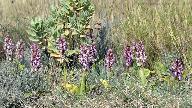 Orchid, Giant photo orchid-giant0043b.jpg