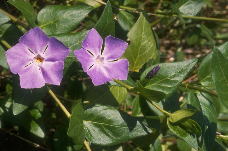 Periwinkle, Greater photo periwinkle-greater040b.jpg