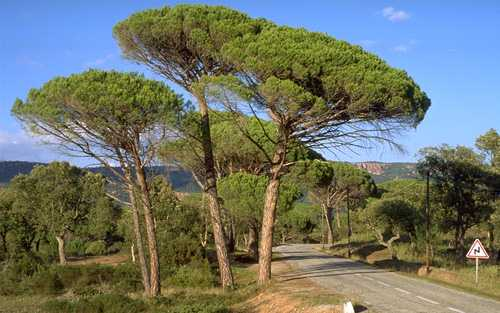 Umbrella Pine Trees Provence Beyond