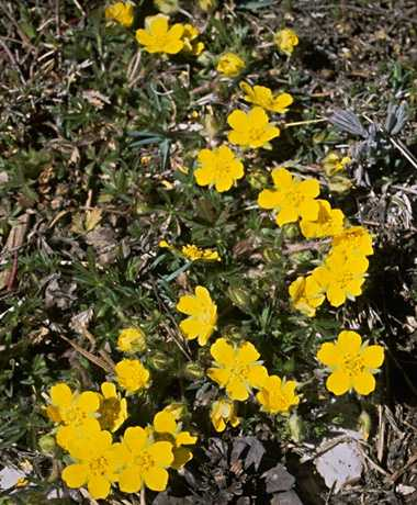 Potentilla Hirta photo potentilla013b.jpg