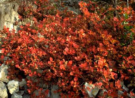 Smoke Tree photo smoke42b.jpg