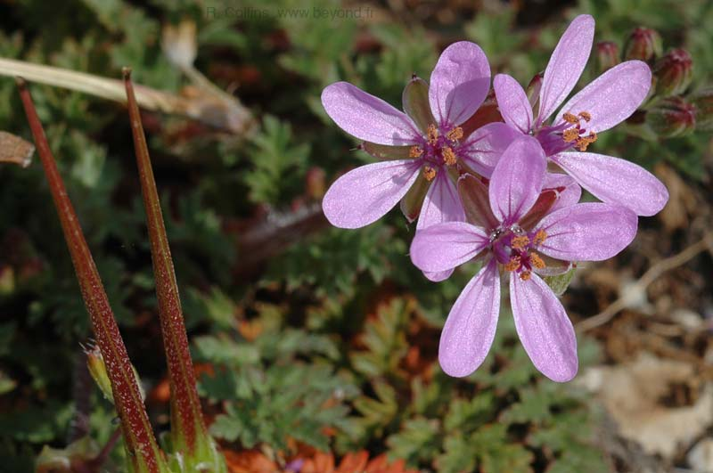 Stork's-Bill, Common photo storks-bill0006b.jpg