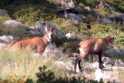 Chamois in the Mercantour