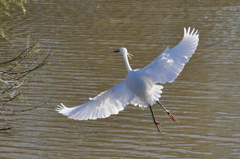 Camargue Pont de Grau photo egret-little0027b.jpg