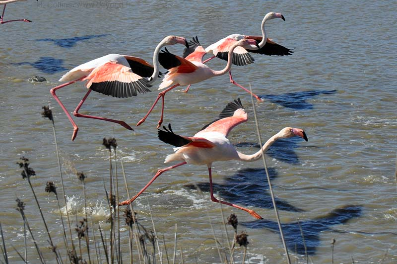 Camargue Pont de Grau photo flamingo0141b.jpg