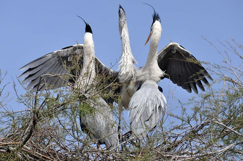 Family of grey herons in the