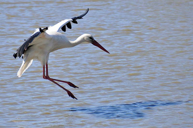 Camargue Pont de Grau photo stork-white0020b.jpg
