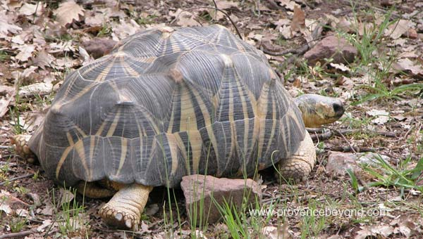 The Madagascar starred tortoise photo