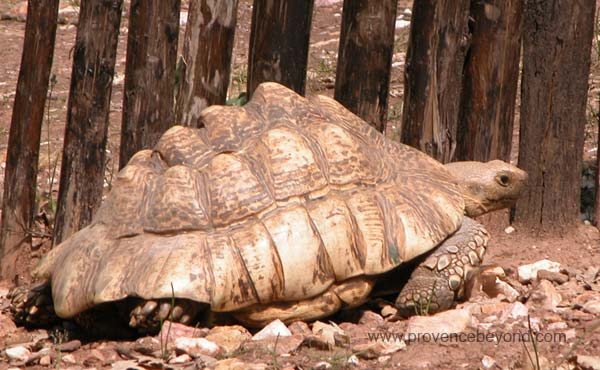The Snapping tortoise photo