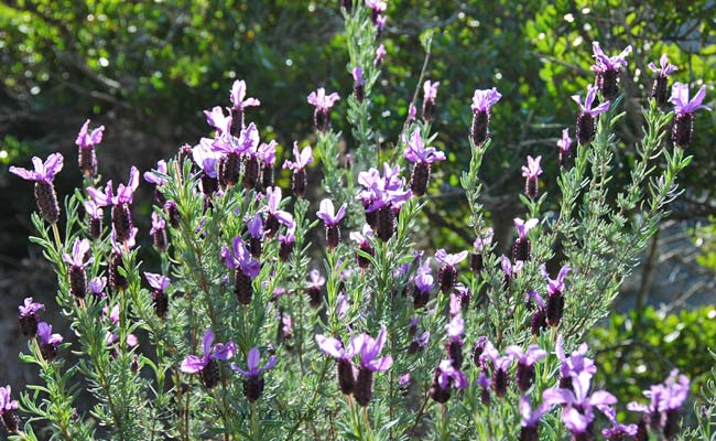 Cap Roux Hike photo lavendertrue0004b.jpg
