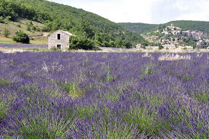 Lavender Fields photo lavender-banon0009b.jpg