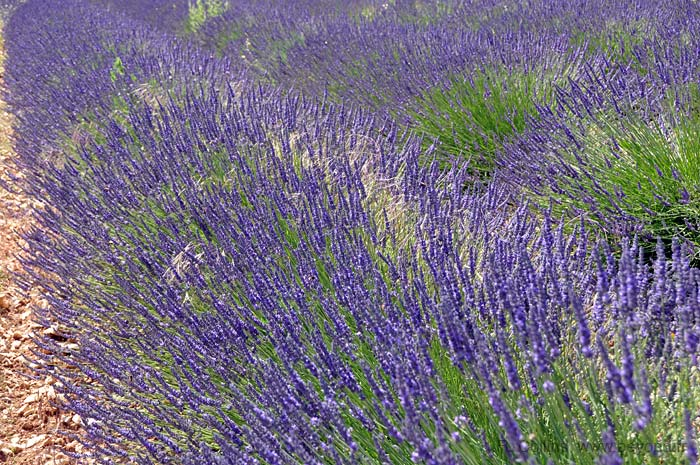 Lavender Fields photo lavender-banon0017b.jpg