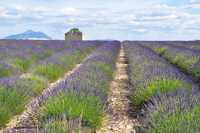 Lavender Fields photo lavender-poteautelle0012b.jpg