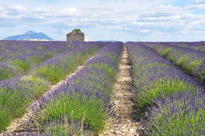 Lavender Fields photo lavender-poteautelle0012b400.jpg