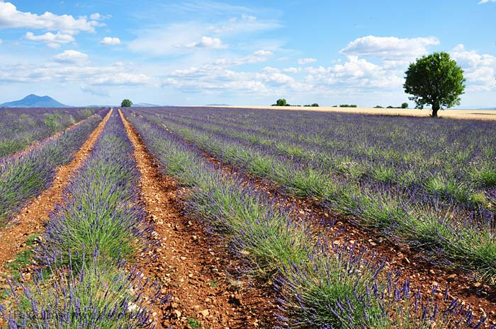 Provence lavender field and ripe wheat