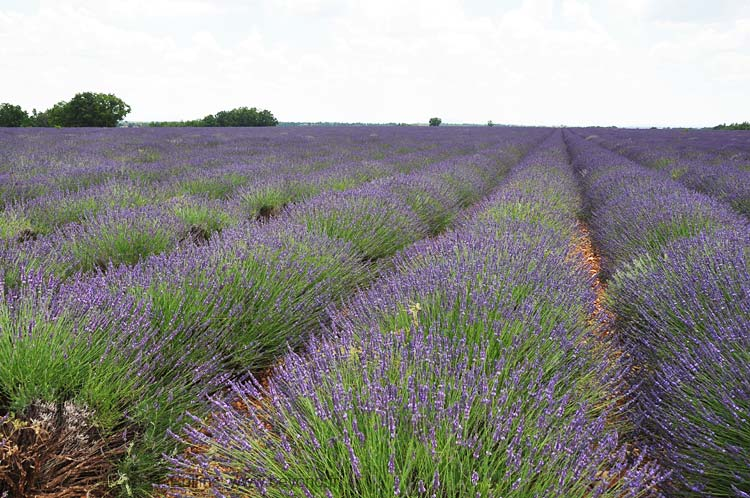 Lavender Fields photo lavender-puimoisson4w0002b.jpg