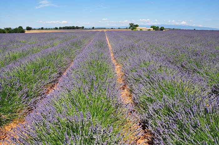 Lavender Fields photo lavender-puimoisson7w0022b.jpg