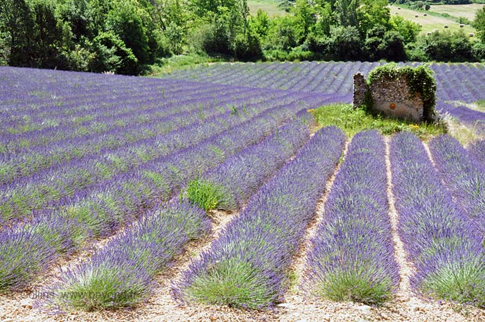 Lavender Fields photo lavender-riez0018b.jpg