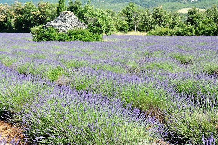 Lavender Fields photo lavender-saignon0050b.jpg