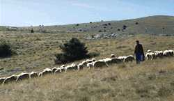 Transhumance photo sheep95causs090s.jpg (6 k)