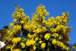 Bormes-les-Mimosas' mimosa tree in