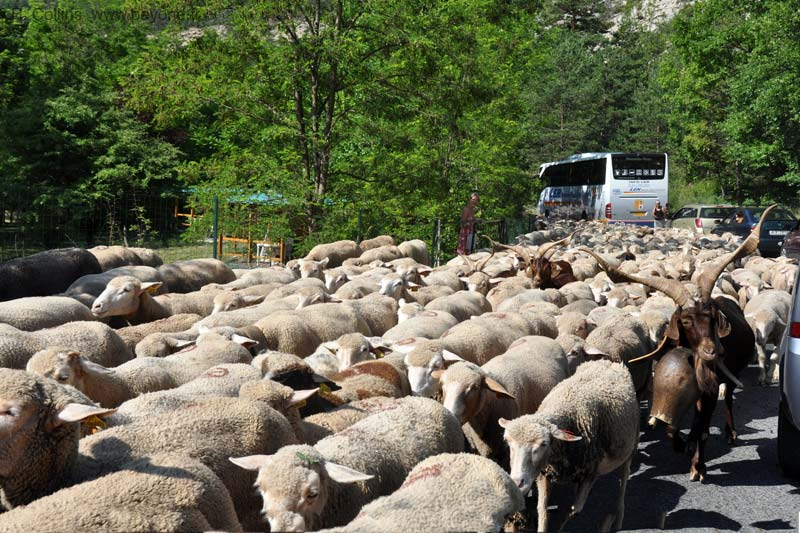 Castellane photo castellane-sheep0012b.jpg